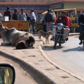 Индия: Коровы