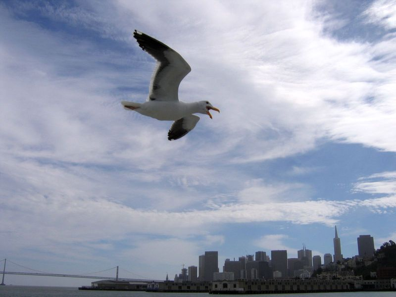 Seagull over San Francisco